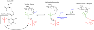 Glycogen phosphorylase - Catalytic Site Mechanism
