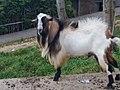 Goat in Minalabac.jpg