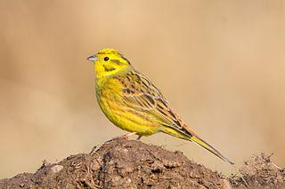 Strnádka žltá (syn. s. obyčajná) (Emberiza citrinella)