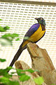 Golden-breasted Starling 3.jpg