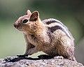 Golden-mantled Ground Squirrel (34660691695).jpg