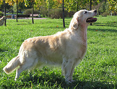Golden Retriever Yardie.jpg