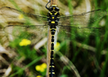 Golden Ringed Dragon Fly Scotland.png