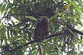 Golden bamboo lemur Hapalemur aureus (15721807407).jpg