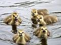 Goslings (4203391692).jpg