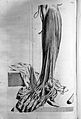 Govard Bidloo, Ontleding des menschelyken lichaams... Wellcome L0025650.jpg