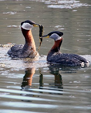 Red-necked grebe - Gifts of aquatic plants are part of the courtship display