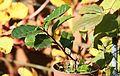 Grüner Tee (Camellia sinensis) (8153656945).jpg