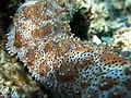 Graeff's Sea Cucumber (321379043).jpg