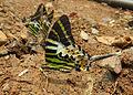 Graphium antiphates - Five-bar Swordtail 17.jpg