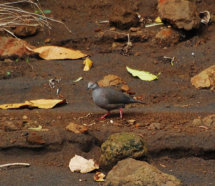 Ficheiro:Gray-chested Dove.jpg