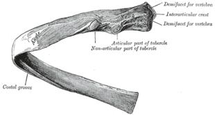 Costa (anatomia)
