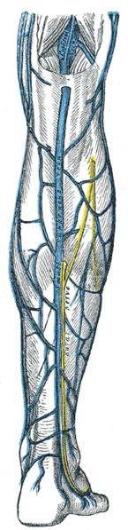 Small saphenous vein - Wikipedia