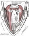 Gray960 muscles of larynx ru.png