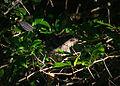 Gray Catbird (15085286327).jpg