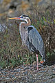 Great Blue Heron In Mating Plumage.jpg