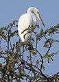 Great Egret Ardea alba Non-br by Dr. Rju Kasambe DSCN5026 (2).jpg