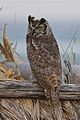 Great Horned Owl (6927490137).jpg
