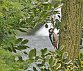 Great Spotted Woodpecker (Dendrocopos major) - geograph.org.uk - 1102255.jpg