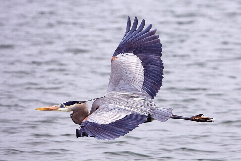 File:Great blue heron - natures pics.jpg