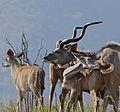 Greater Kudus (Tragelaphus strepsiceros) (32047058950).jpg