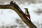 Greater Spotted Woodpecker - RSPB Sandy (24355267721).jpg