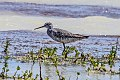 Greater Yellowlegs (Tringa melanoleuca) (8082800782).jpg