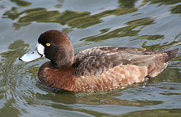Greater scaup female.jpg