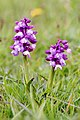 Green-winged Orchid (34495879216).jpg