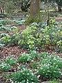 Green Hellebore (Helleborus viridis), Damerham - geograph.org.uk - 1757894.jpg