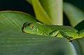 Green Iguana (Iguana iguana) juvenile (10460047124).jpg