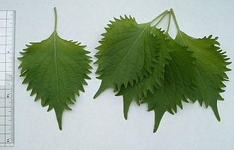 Perilla - Aojiso, the edible leaves of Perilla frutescens var. crispa (P. frutescens var. crispa)