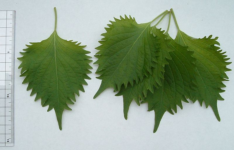 File:Green shiso perilla.jpg