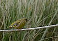 Greenfinch (143466675).jpeg