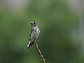 Grey-streaked Flycatcher 5637.jpg