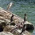 Grey heron and Great cormorants in Hori river - 2.jpg