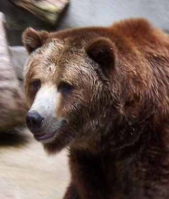 Brown - Image: Grizzly