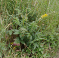 Grossenlueder Mues Kalkberge Agrimonia eupatoria.png