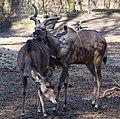 Grosser Kudu Tragelaphus strepsiceros Tierpark Hellabrunn-21.jpg