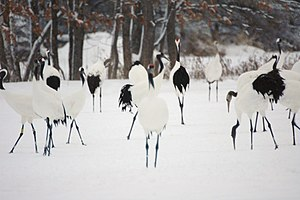 Wildlife of Japan - Red-crowned cranes