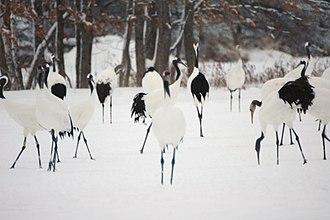 Wildlife of Japan - Red-crowned cranes