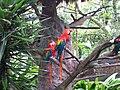 Guacamayas en el zoológico Matecaña.jpg