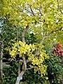 Guaiacum officinale - Copenhagen Botanical Garden - DSC07401.JPG