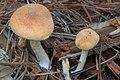 Gymnopilus allantopus (Berk.) Pegler 620622.jpg
