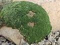 Gypsophila aretioides kz03.jpg