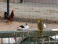 Hühner la vanille Mauritius 2019-09-29 3.jpg