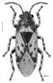 HEMI Lygaeidae Heterogaster urticae.png