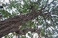 HK 上環 Sheung Wan 裕林臺 U Lam Terrace tree 黃金風鈴木 Tabebuia chrysantha October 2017 IX1 04.jpg