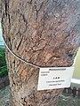 HK CWB 銅鑼灣 Causeway Bay 維多利亞公園 Victoria Park tree trunk n green leaves December 2019 SSG 22.jpg