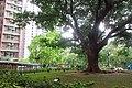 HK SMP 秀茂坪邨 Sau Mau Ping Estate Campion tree silk July 2018 IX2 002 (1).jpg